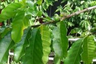 Grow Your Own Coffee Bean At Home