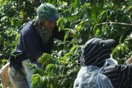 Exploiting Coffee Pickers