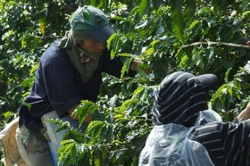 Keeping Coffee Cheap by Exploiting Coffee Pickers